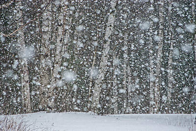 Snow On Birch  Poster