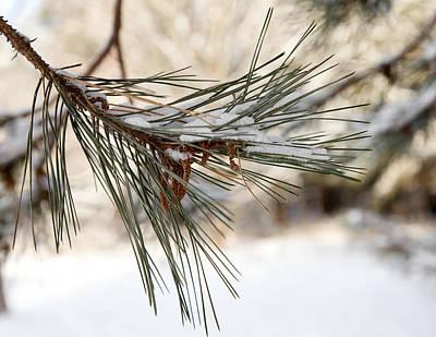 Snow Pine Poster