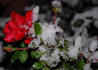 Poster featuring the photograph Snow Rose by Mim White