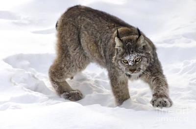 Snow-shovelling Lynx Poster
