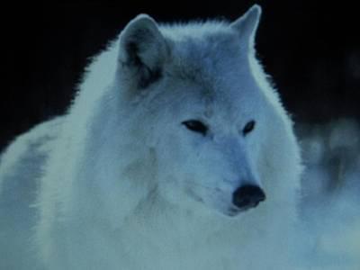 Snow White Wolf Poster by Gunter  Hortz