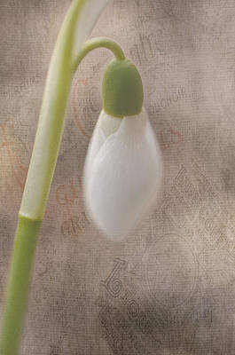 Snowdrop Bud Poster by Faith Simbeck