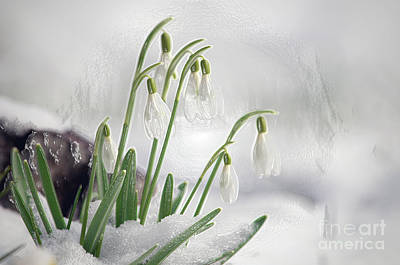 Snowdrops On Ice Poster by Sharon Talson