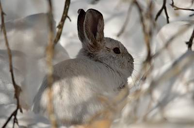 Snowshoe Hare Poster by James Petersen