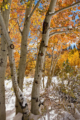 Snowy Aspen Grove Poster