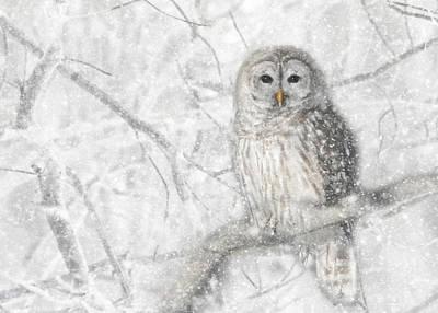 Snowy Barred Owl Poster by Lori Deiter