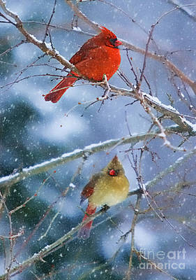 Snowy Cardinal Pair Poster by Clare VanderVeen