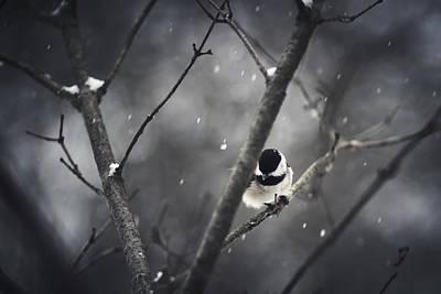 Snowy Chickadee Poster by Shane Holsclaw