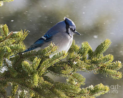 Snowy Day Blue Jay Poster