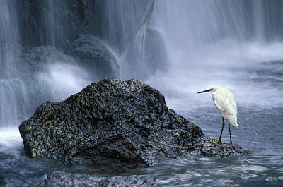 Snowy Egret And Waterfall Poster by Robert Jensen