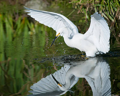 Snowy Egret Poster by Avian Resources