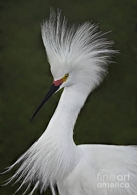 Snowy Egret Display Poster
