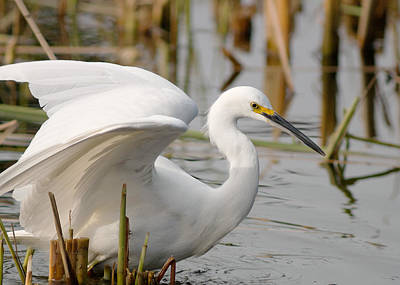 Poster featuring the photograph Snowy Egret by Doug Herr
