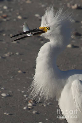 Snowy Egret Fishing Poster