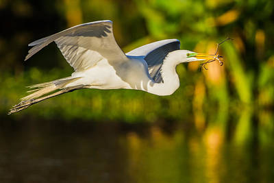 Snowy Egret Flying With A Branch Poster