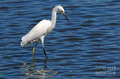 Poster featuring the photograph Snowy Egret Foraging by Olivia Hardwicke