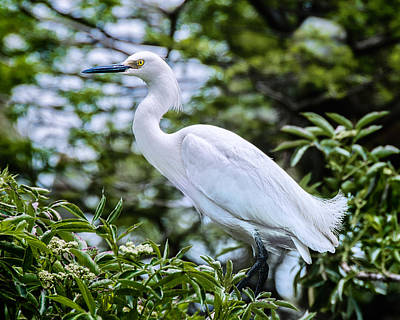 Snowy Egret In Trees Poster