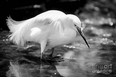 Snowy Egret Poster by Jennifer Magallon