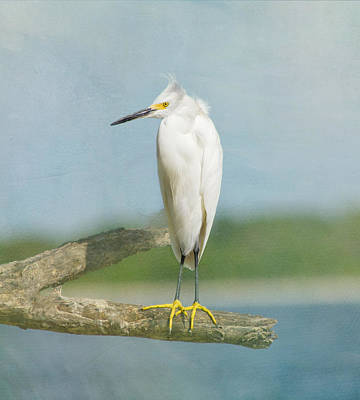 Snowy Egret Poster by Kim Hojnacki