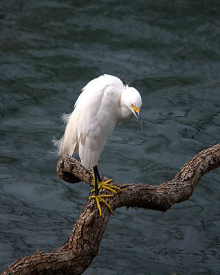 Snowy Egret Out On A Limb Poster