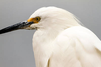 Snowy Egret Profile Poster