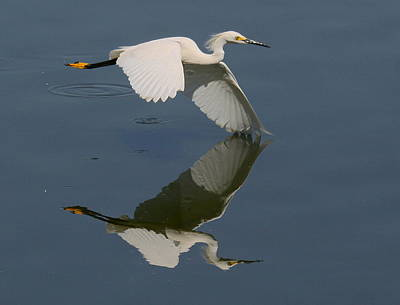 Snowy Egret Reflecting Poster by Myrna Bradshaw