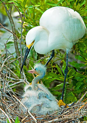 Snowy Egret Tending Young Poster