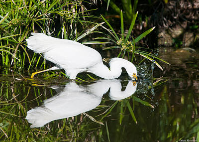Poster featuring the photograph Snowy Egret With Reflection by Avian Resources