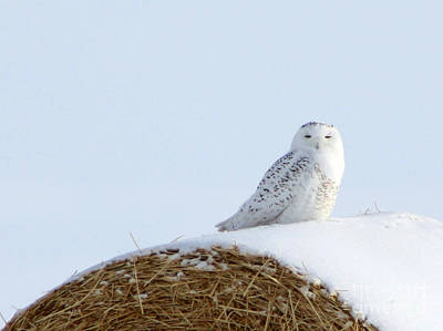 Poster featuring the photograph Snowy Owl by Alyce Taylor