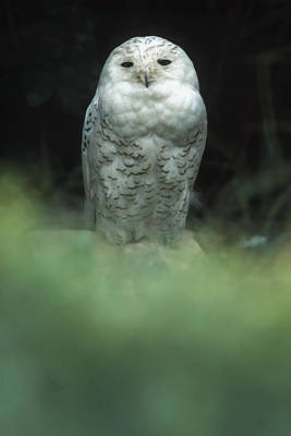 Poster featuring the photograph Snowy Owl by Bud Simpson