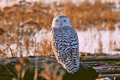 Snowy Owl Catching Some Winks Poster by Peggy Collins
