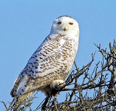 Poster featuring the photograph Snowy Owl by Constantine Gregory