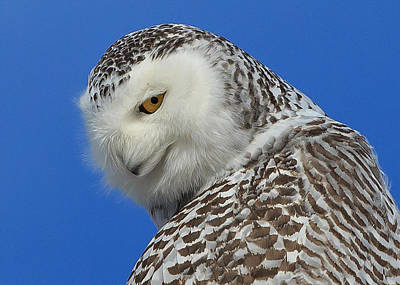 Snowy Owl Greeting Card Poster