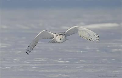 Snowy Owl Head On Poster