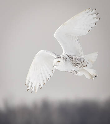 Snowy Owl In Flight 4 Poster by Thomas Young
