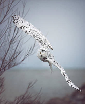 Snowy Owl In Flight Poster by Carrie Ann Grippo-Pike