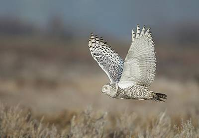 Poster featuring the photograph Snowy Owl In Flight by Daniel Behm
