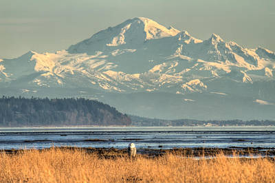Snowy Owl In Front Of Mount Baker Poster by Pierre Leclerc Photography