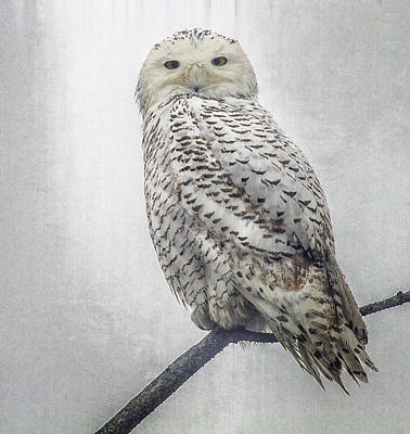 Poster featuring the photograph Snowy Owl In The Rain by Constantine Gregory