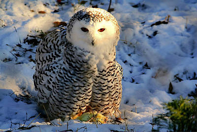 Poster featuring the photograph Snowy Owl by Larry Trupp