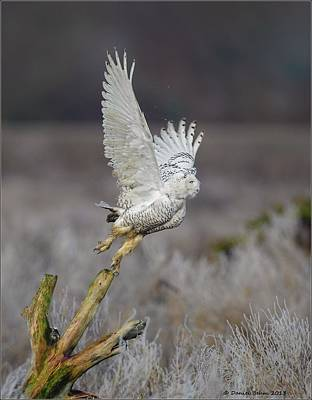 Poster featuring the photograph Snowy Owl Liftoff by Daniel Behm