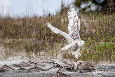Snowy Owl Little Talbot Island State Park Florida Poster by Dawna  Moore Photography