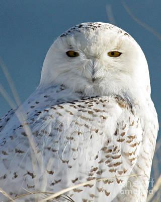 Snowy Owl Poster