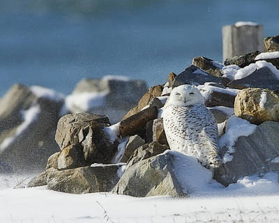 Snowy Owl On A Rock Pile Poster