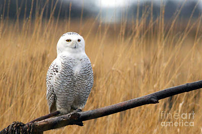 Snowy Owl On Branch Poster