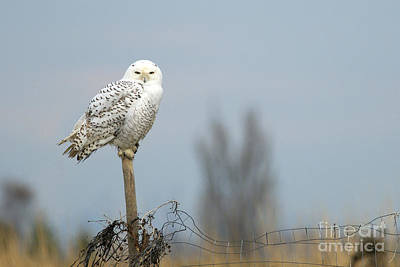 Snowy Owl On Fence Post 2 Poster