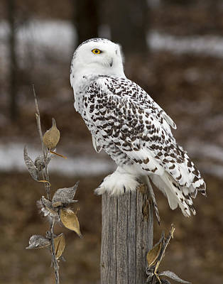 Snowy Owl Posts Poster by Pat Eisenberger