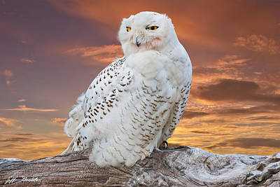 Snowy Owl Perched At Sunset Poster by Jeff Goulden