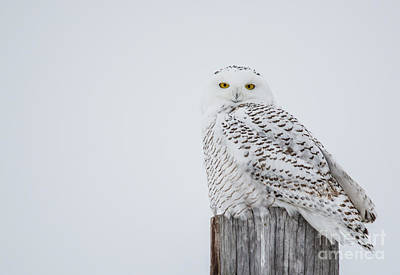 Snowy Owl Perfection Poster