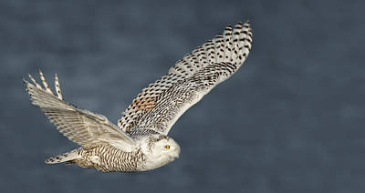 Snowy Owl Pictures 1 Poster by Owl Images